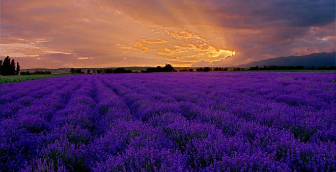 [场景介绍]:薰衣草庄园位于成都的郫县,这里是薰衣草的海洋,紫色的烂